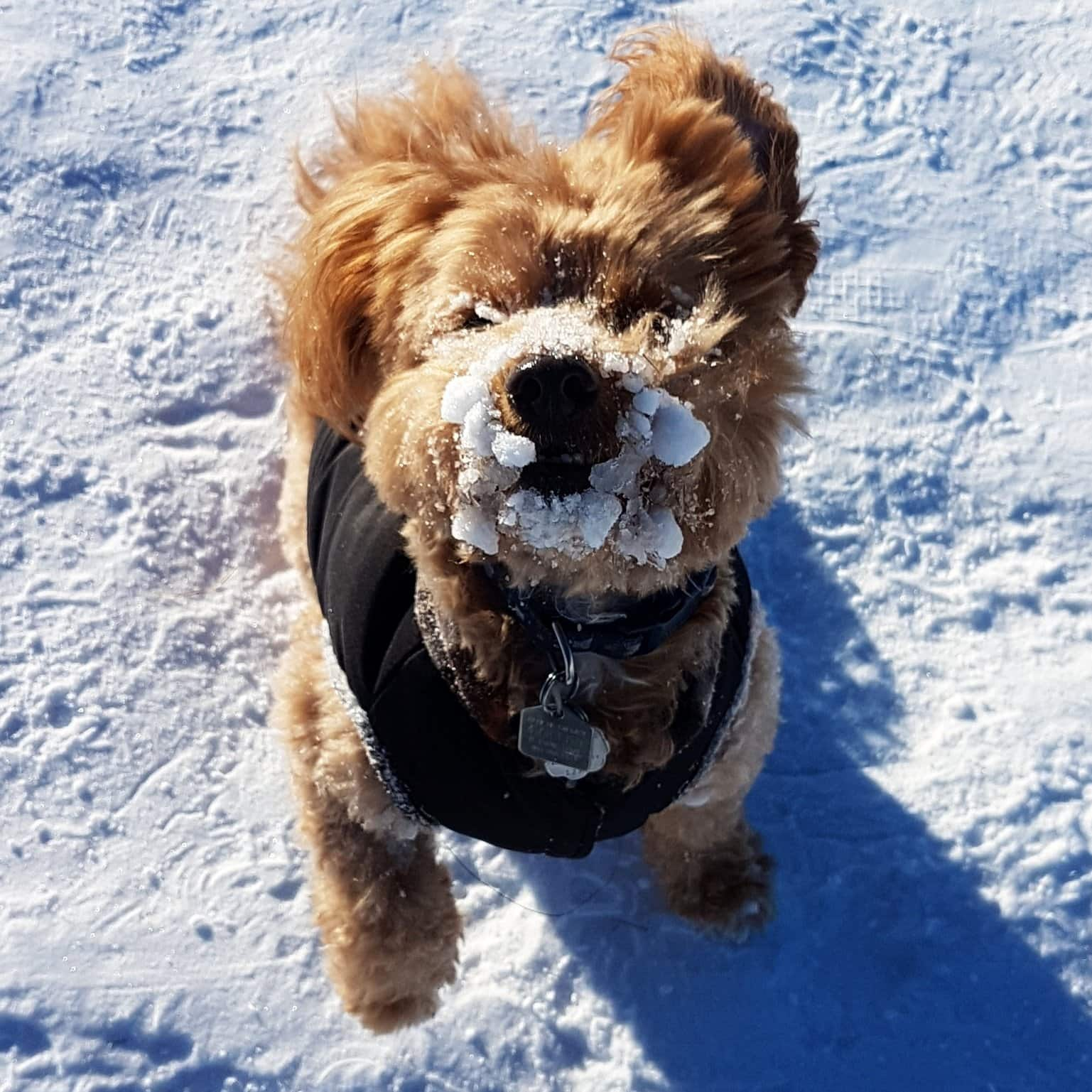 A dog with a face full of snow.